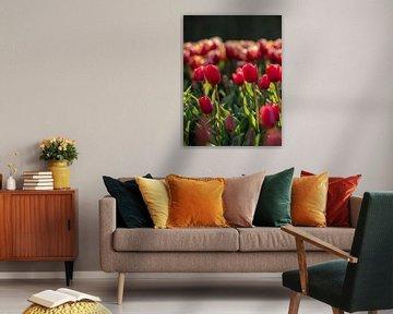 Rote holländische Tulpen bei Sonnenuntergang von Saranda Hofstra
