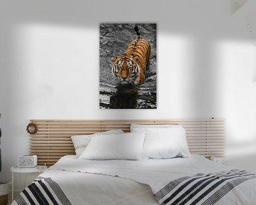 . junge schöne Tiger mit ausdrucksvollen Augen geht auf dem Wasser (badet), kontrastierenden schwarz von Michael Semenov