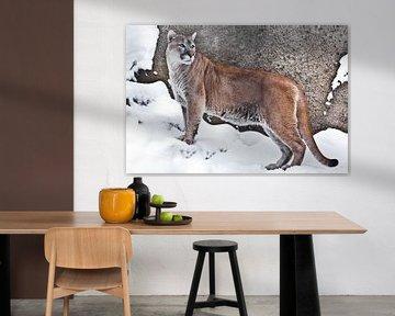 eine Großkatze Cougar im Profil, vor einem Hintergrund aus Felsen und Schnee, Ansicht des Tieres von von Michael Semenov