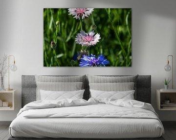Nahaufnahme einer pink weißen und einer blauen Kornblumenblüte von Reiner Conrad