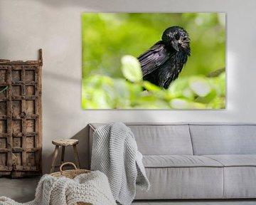 Raven kraai na het bad van Ostfriesenfotografie