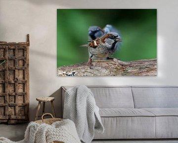 Haussperling x2 von Ostfriesenfotografie