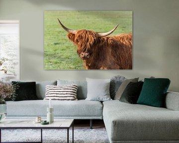 Schotse Hooglander van Jan Poppe