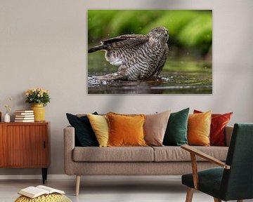 A Sparrow Hawk taking a bath! van Robert Kok