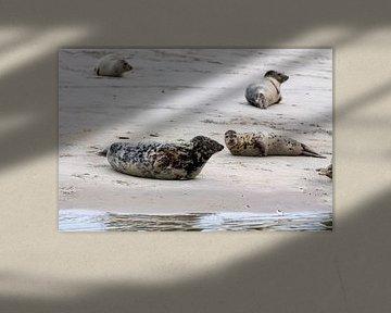 Seehunde und Kegelrobben von Dirk Rüter