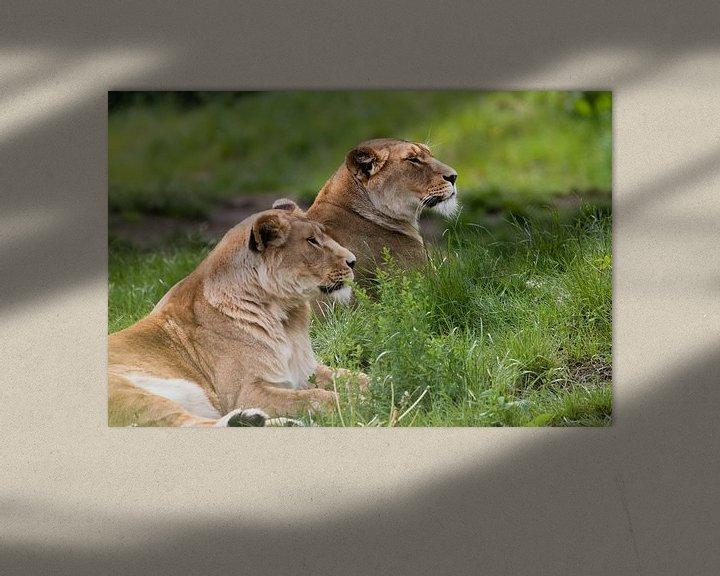 Beispiel: Löwen auf Safari Beekse Bergen von Anne Zwagers