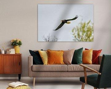 Stellerscher Seeadler fliegt über den Bäumen, gegen einen blauen Himmel. Der Raubvogel hat seine Flü von Gea Veenstra