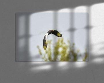 Steller zeearend vliegt over bomen, tegen een blauwe lucht.  1 Vleugel achter de boomtop. De roofvog van Gea Veenstra