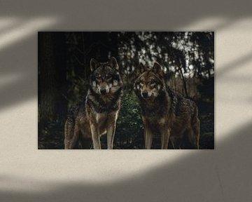 wolfspaar von Lars Hoppe