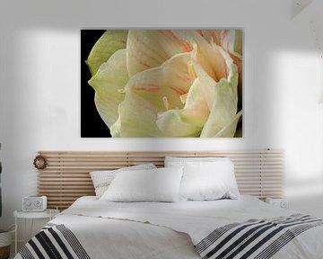 De schoonheid van een bloeiende Amaryllus von Gert van Santen