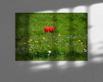 Tulpen machen es am Stacheldraht hübscher von FotoGraaG Hanneke