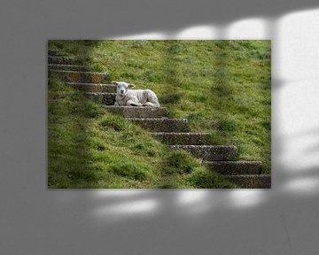 Agneau au frais dans les escaliers - Texel sur Texel360Fotografie Richard Heerschap