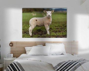 Photoshoot 01 agneau Texel sur Texel360Fotografie Richard Heerschap