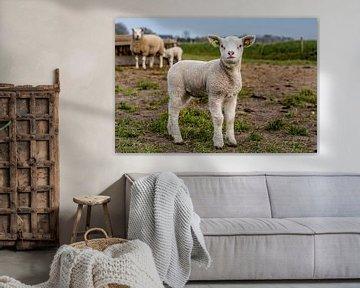 Photoshoot 02 agneau Texel sur Texel360Fotografie Richard Heerschap