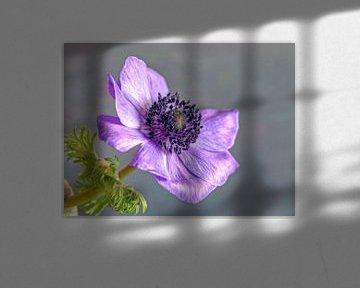 Anemone-Schmuckblume von Gerhard Albicker