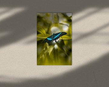 Blauer Morpho von Loran Schoen