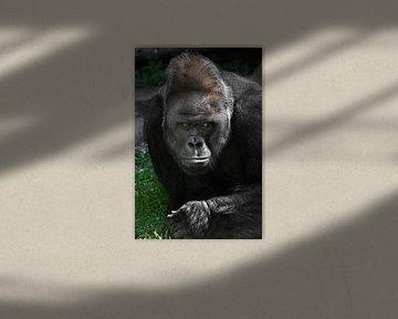 Schmerzhafte Reflexionen auf einer grünen Wiese eines starken männlichen Gorillas mit einer großen F von Michael Semenov