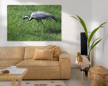 Eine schöne schlanke und anmutige Vogel Demoiselle Kran vorsichtig geht entlang einer hellen grünen  von Michael Semenov