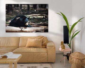 Schlafender Schwarzbär im Bearizona Wildlife Park von Nicolas Ros