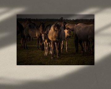 Mutter mit Fohlen bei Sonnenuntergang von EMVDS photography