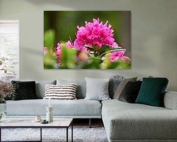 Blüten eines Rhododendrons (liegend) von Gerard de Zwaan