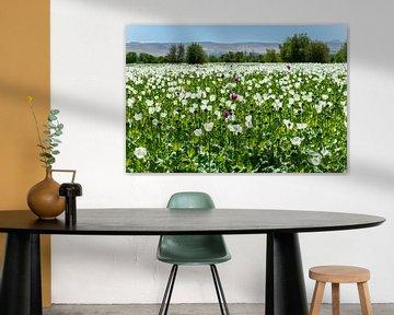 Paarse witheid van Roland's Foto's