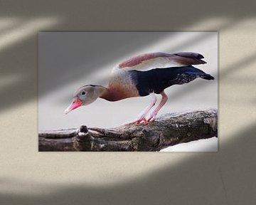 Eine neugierige pfeifende Ente mit roter Feder schaut von einem Zweig herunterEine neugierige pfeife von Michael Semenov