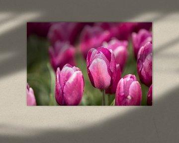 eine rosa Tulpe im Blumenfeld | Fine Art Photo von Karijn | Fine art Natuur en Reis Fotografie