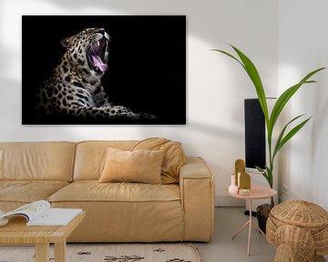 Hungriger Leopard, Amur Fernost mit offenem Maul schwarzer Hintergrund, isoliert von Michael Semenov