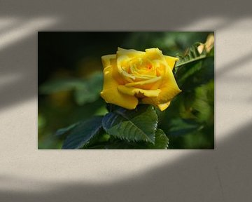 Nahaufnahme einer gelben Rose von Anja B. Schäfer