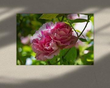 Rose im Licht von Anja B. Schäfer