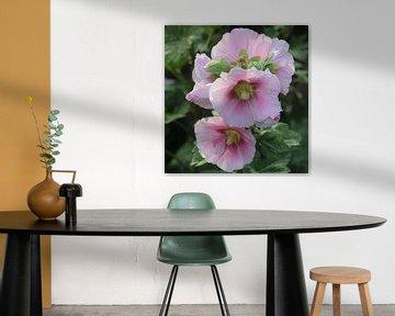 zart rosanne Stockrose von Preußi