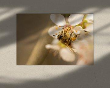 Bee on cherry blossom von shot.by alexander