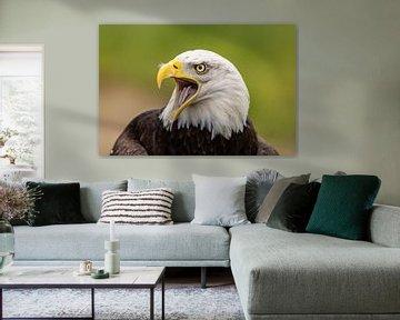 Weißkopfseeadler, Amerikanischer Weißkopfseeadler.