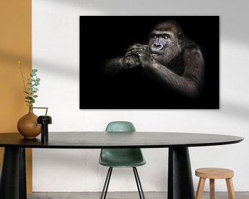 Augen aufmerksam Zähne entblößt Gorilla weiblich nagt etwas, während die Hände an der Schnauze zieht von Michael Semenov