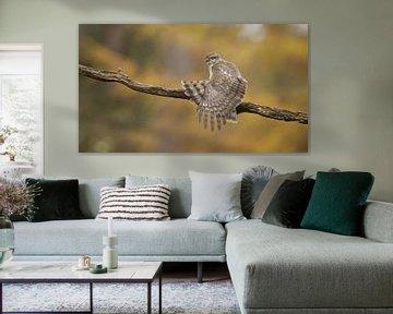 Sperwer vrouwtje strekt vleugels van Art Wittingen