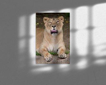 Lioness sieht Sie an und leckt sich die Lippen an