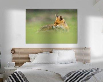 renard dans l'herbe sur bryan van willigen