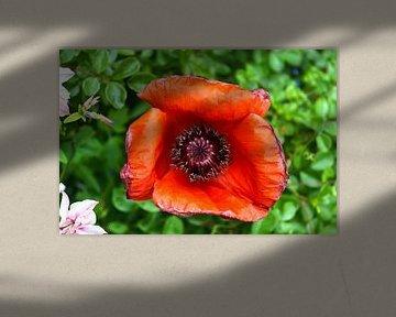 Rote Klatschmohnblüte vor grünem Hintergrund von MPfoto71