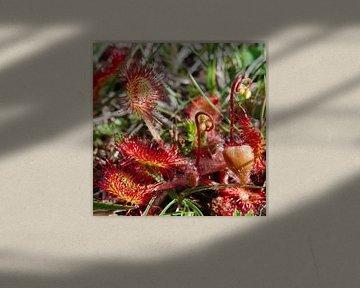 Natuur op Texel - Zonnedauw van Peter Schoo