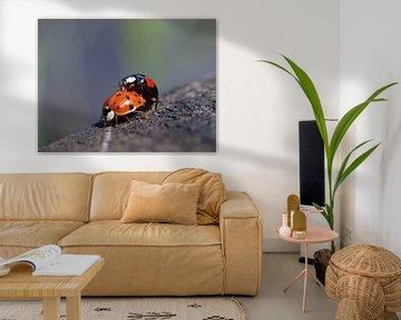 Lieveheersbeestjes van Edwin Butter
