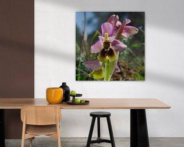 Orchidee ophrys tenthredinifera van Peter Schoo