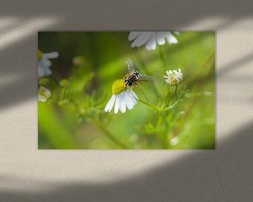 Schmatzende Schwebfliege von Colin Aalbers