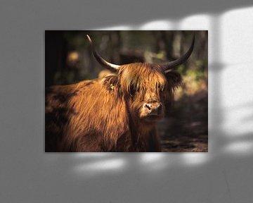 Schotse hooglander in het zonnetje! van Peter Haastrecht, van