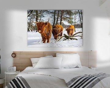 schotsehooglanders in de sneeuw 1 van scott van maurik