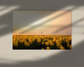 Tulpen veld Noord Holland