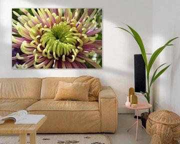 Gelb-rosa Chrysantheme von Ingrid Bargeman