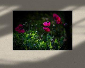 Rosa Mohnblumen in der Sonne von Sabina Meerman