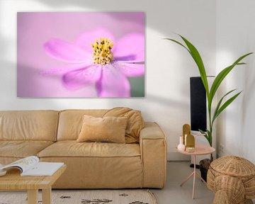 Eine Nahaufnahme einer schönen Cosmea-Blüte von Veronika Seliverstova