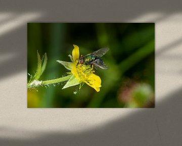 bunte Schmeißfliege auf einer gelben Blume von Hans-Jürgen Janda